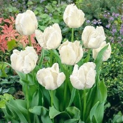 7-p Papegojtulpan WHITE PARROT tulpanlökar