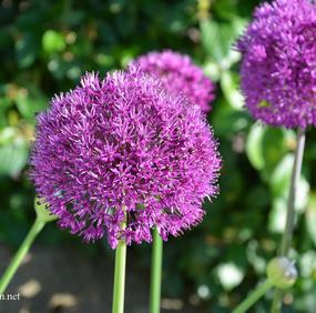 15 st ALLIUM PURPLE SENSATION LÖKAR 80cm